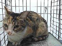 18-17819's story 18-17819 Domestic Short Hair Calico