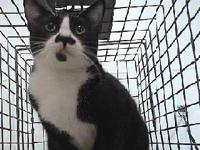 18-19123 Domestic Short Hair Black/White Impounded on