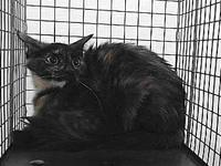 18-19271's story 18-19271 Domestic Short Hair Tortie