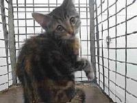 18-20692's story 18-20692 Domestic Short Hair Patched