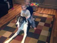 Zeke is an 18 month old blue merle mantle Great Dane.