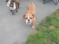 selling our 18 month old male bulldog ranger.we do not
