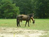 18 year old Gaited Black Tenn Walker, 15.3 hands, great
