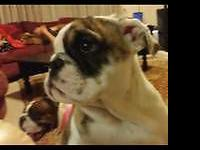 I have one AKC English bulldog left of a rare, all