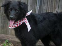 Hazel is a Border Collie/Lab mix girl who is about