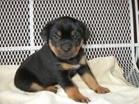 Exclusive Breeder Toy/Miniature Size Rottweilers. Only