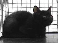 19-03571's story 19-03571 Domestic Short Hair Black