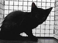 19-03572's story 19-03572 Domestic Short Hair Black