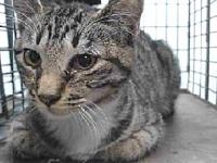 19-04717's story 19-04717 Domestic Short Hair Brown and