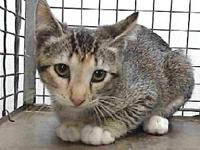 19-04937's story 19-04937 Domestic Short Hair Brown and