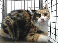 19-05406's story 19-05406 Domestic Medium Hair Calico