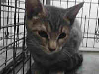 19-05960's story 19-05960 Domestic Long Hair Grey Tabby