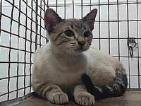 19-06736's story 19-06736 Siamese Lynx Point Impounded