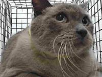 19-06848's story 19-06848 Siamese Mix Seal Brown