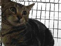 19-06950's story 19-06950 Domestic Short Hair Brown
