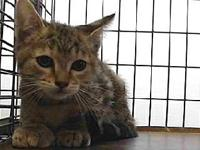 19-07120's story 19-07120 Domestic Short Hair Patched