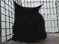 19-10561's story 19-10561 Domestic Short Hair Black
