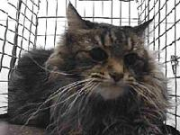 19-11302's story 19-11302 Domestic Long Hair Grey Tabby