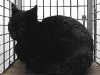 19-11376's story 19-11376 Domestic Short Hair Black