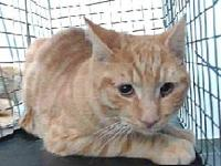 19-11613's story 19-11613 Domestic Short Hair Orange