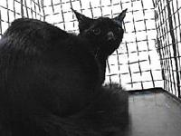 19-11841's story 19-11841 Domestic Short Hair Black
