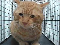 19-12051's story 19-12051 Domestic Short Hair Orange