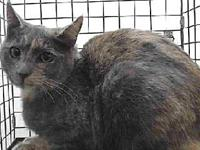 19-12073's story 19-12073 Domestic Short Hair Pastel