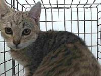 19-12200's story 19-12200 Domestic Short Hair