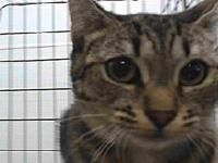 19-12249's story 19-12249 Domestic Short Hair Brown