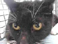 19-12299's story 19-12299 Domestic Short Hair