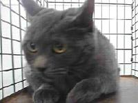 19-12306's story 19-12306 Domestic Medium Hair Grey