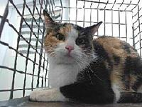 19-12555's story 19-12555 Domestic Short Hair Calico