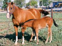 Franken Frost, AQHA# 3625868 -Priced at $1,200. 1994