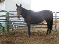 Docs Blue Deb is a 1995 Gorgeous AQHA Chocolate Bay