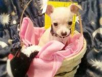 I have 1 female and 1 male teacup chihuahua left.