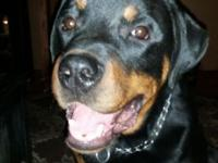 Beautiful house broken male rottweiler pup. He's great