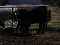 Very nice black 1st. calf heifers with calves on ths