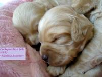 """Cockapoo Puppies In Michigan""---New Picture 9-09-2012"