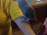I have a Congo african gray child who just turned one