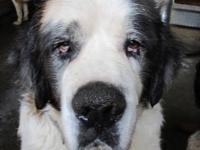 1 yr old male Saint Bernard needs new home. Purebred