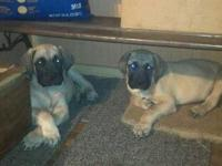 I have 2 Male Akc Old English Mastiff Puppies left.