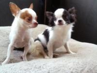 Stunning Apple Head Chihuahua studs!Huge heads and