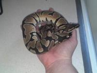 I acquired this python a couple years ago from my