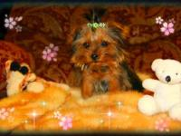 So tiny, 2.5 Lb. Male Yorkshire Terrier, his Mom & Dad