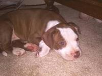 BEAUTIFUL pit puppies ready for adoption. We have 2