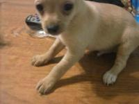 2 8week old chihuahuas males ready for a forever home