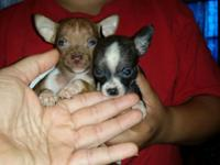 I have 2 Adorable 9 week old Chihuahua Puppies !! I