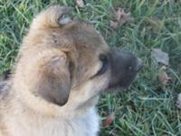 I have 2 female AKC sable German Shepherd pups. 8 weeks