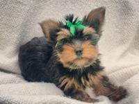 We presently have 2 AKC certified Yorkie puppies for