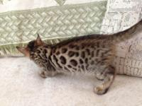 I have 2 male Bengal kittycats that are 11 weeks old